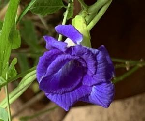Blue bell in my garden