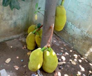 Pallapazham - Jack Fruit