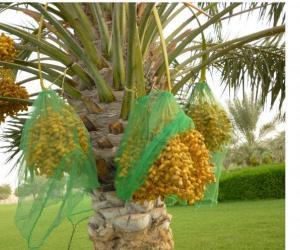 Rangoli: Dates tree