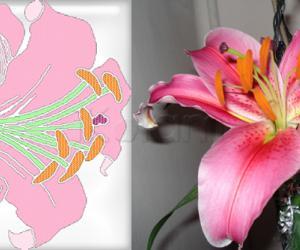 Rangoli: Spring Garden Kolams - Amaryllis