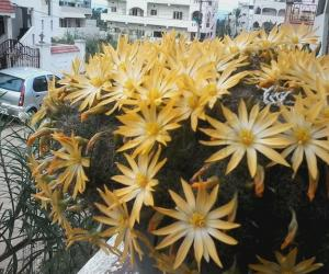 Rangoli: My cactus flowers