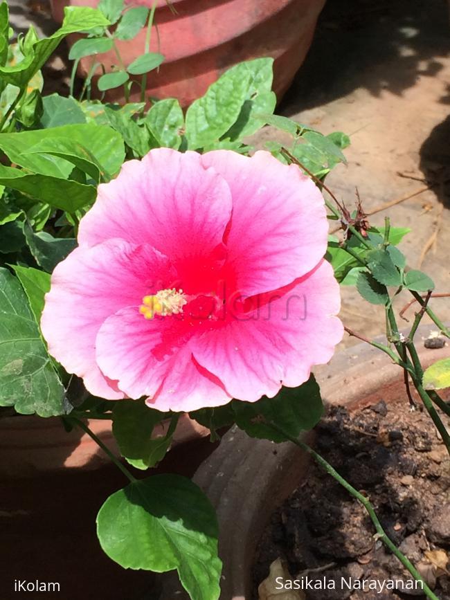 My garden - rose hibiscus in my garden