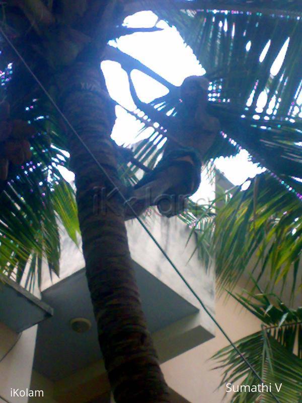 Rangoli: Coconut Climbers